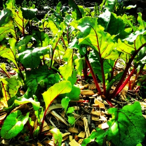 Beetroots in Good Hope Gardens