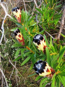 Protea lepidocarpodendron