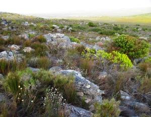 Beautiful Fynbos
