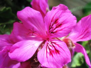 Pelargonium in Spring