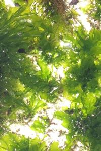 Ulva - sea lettuce