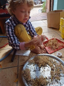 Sorting chive seeds