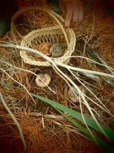 Pine ring mushrooming
