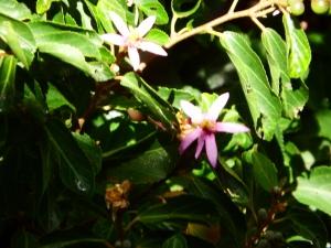 Grewia occidentalis flower