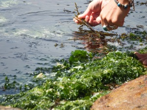 Coastal foraging - seaweed