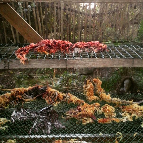 Drying seaweed