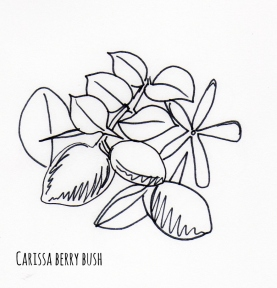 Carssa berry bush sketch