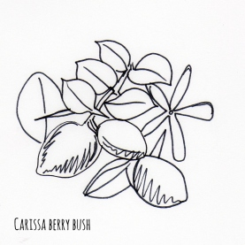 Carssa berry bush sketch